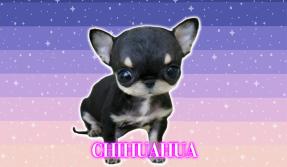 chihuahuas venta de cachorros criadero kachorrosymaskotas