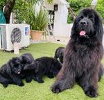 terranovas cachorros en venta en mexico y estados Unidos